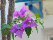 Flor rosada del bougainvillea Imagen de archivo libre de regalías