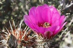 Flor rosada del cacto Fotografía de archivo