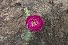 Flor rosada del cactus Foto de archivo
