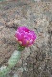 Flor rosada del cactus Imágenes de archivo libres de regalías