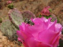 Flor rosada del cactus con la abeja Fotografía de archivo libre de regalías