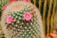Flor rosada del cactus en la plena floración Imágenes de archivo libres de regalías