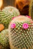 Flor rosada del cactus en la plena floración Imagen de archivo