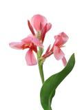 Flor rosada del canna Imagen de archivo