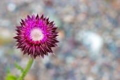Flor rosada del cardo de leche foto de archivo libre de regalías