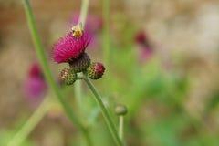Flor rosada del cardo en la floración con la abeja Imagen de archivo libre de regalías