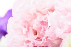 Flor rosada del clavel Imagenes de archivo