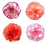 Flor rosada del clavel Imágenes de archivo libres de regalías