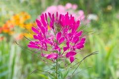 Flor rosada del Cleome (planta de araña) Fotos de archivo libres de regalías