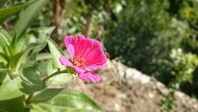 Flor rosada del color Foto de archivo
