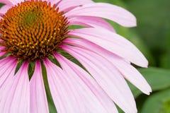 Flor rosada del cono Imágenes de archivo libres de regalías