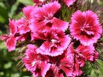 Flor rosada del contraste Foto de archivo