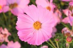 Flor rosada del cosmos Foto de archivo