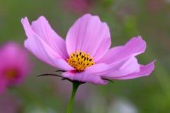 Flor rosada del cosmos Imagen de archivo libre de regalías