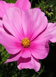 Flor rosada del cosmos Foto de archivo libre de regalías