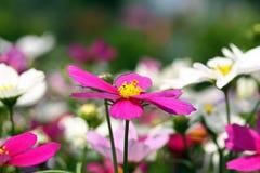 Flor rosada del cosmos Fotos de archivo libres de regalías