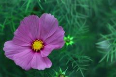 Flor rosada del cosmos con el centro amarillo en un fondo verde en el jardín Imágenes de archivo libres de regalías