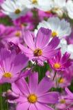 Flor rosada del cosmos con la abeja Imagen de archivo libre de regalías