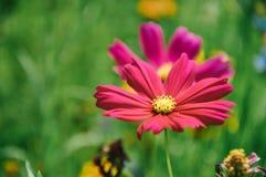 Flor rosada del cosmos, flor de Galsang fotos de archivo libres de regalías