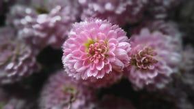 Flor rosada del crisantemo Imagenes de archivo