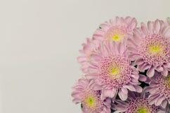 Flor rosada del crisantemo Imagen de archivo libre de regalías