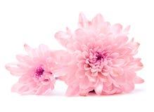 Flor rosada del crisantemo Imagen de archivo
