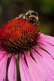 Flor rosada del Echinacea Imagen de archivo libre de regalías