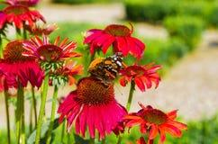 Flor rosada del echinacea con la mariposa Imágenes de archivo libres de regalías