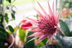 Flor rosada del fasciata de Aechmea en el jardín Fotografía de archivo libre de regalías