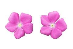 Flor rosada del flor aislada en el fondo blanco Fotos de archivo libres de regalías