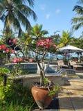 Flor rosada del frangipani Imagen de archivo