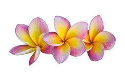 Flor rosada del Frangipani Foto de archivo libre de regalías
