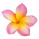 Flor rosada del frangipani Imágenes de archivo libres de regalías