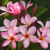 Flor rosada del frangipani en el jardín Imágenes de archivo libres de regalías