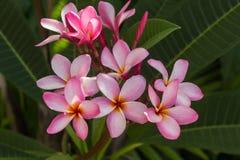 Flor rosada del frangipani en el jardín Fotos de archivo libres de regalías