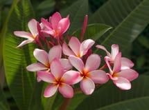 Flor rosada del frangipani en el jardín Fotos de archivo