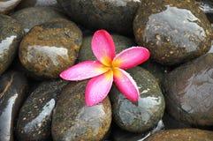 Flor rosada del Frangipani en piedras del río Foto de archivo