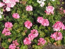 Flor rosada del geranio imagenes de archivo