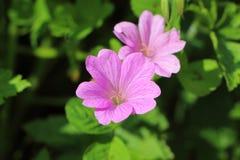 Flor rosada del geranio Fotografía de archivo