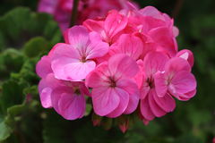 Flor rosada del geranio imagen de archivo libre de regalías