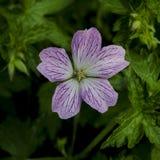 Flor rosada del geranio en la floraci?n imagenes de archivo