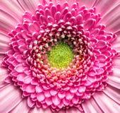 Flor rosada del gerber Foto de archivo libre de regalías