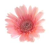 Flor rosada del gerbera Foto de archivo libre de regalías