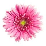 Flor rosada del gerbera Fotos de archivo libres de regalías