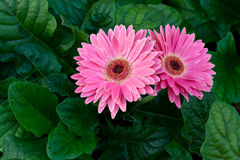 Flor rosada del Gerbera. Imagenes de archivo