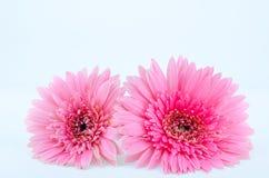 Flor rosada del Gerbera Imágenes de archivo libres de regalías