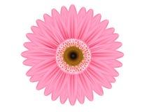 Flor rosada del Gerbera Imagen de archivo libre de regalías