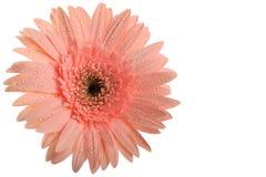 Flor rosada del Gerbera imagenes de archivo