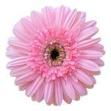 Flor rosada del Gerbera aislada en blanco Imagen de archivo libre de regalías