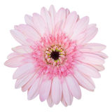 Flor rosada del Gerbera aislada en blanco Fotos de archivo libres de regalías